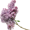 uploads lilac lilac PNG51 20
