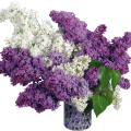 uploads lilac lilac PNG59 17