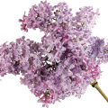 uploads lilac lilac PNG62 15