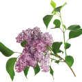 uploads lilac lilac PNG67 12