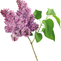 uploads lilac lilac PNG69 18