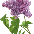 uploads lilac lilac PNG70 20