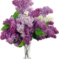 uploads lilac lilac PNG79 16