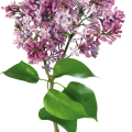 uploads lilac lilac PNG82 21