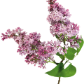 uploads lilac lilac PNG83 25