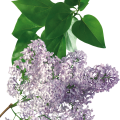 uploads lilac lilac PNG85 14