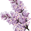 uploads lilac lilac PNG91 19