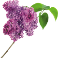 uploads lilac lilac PNG94 7