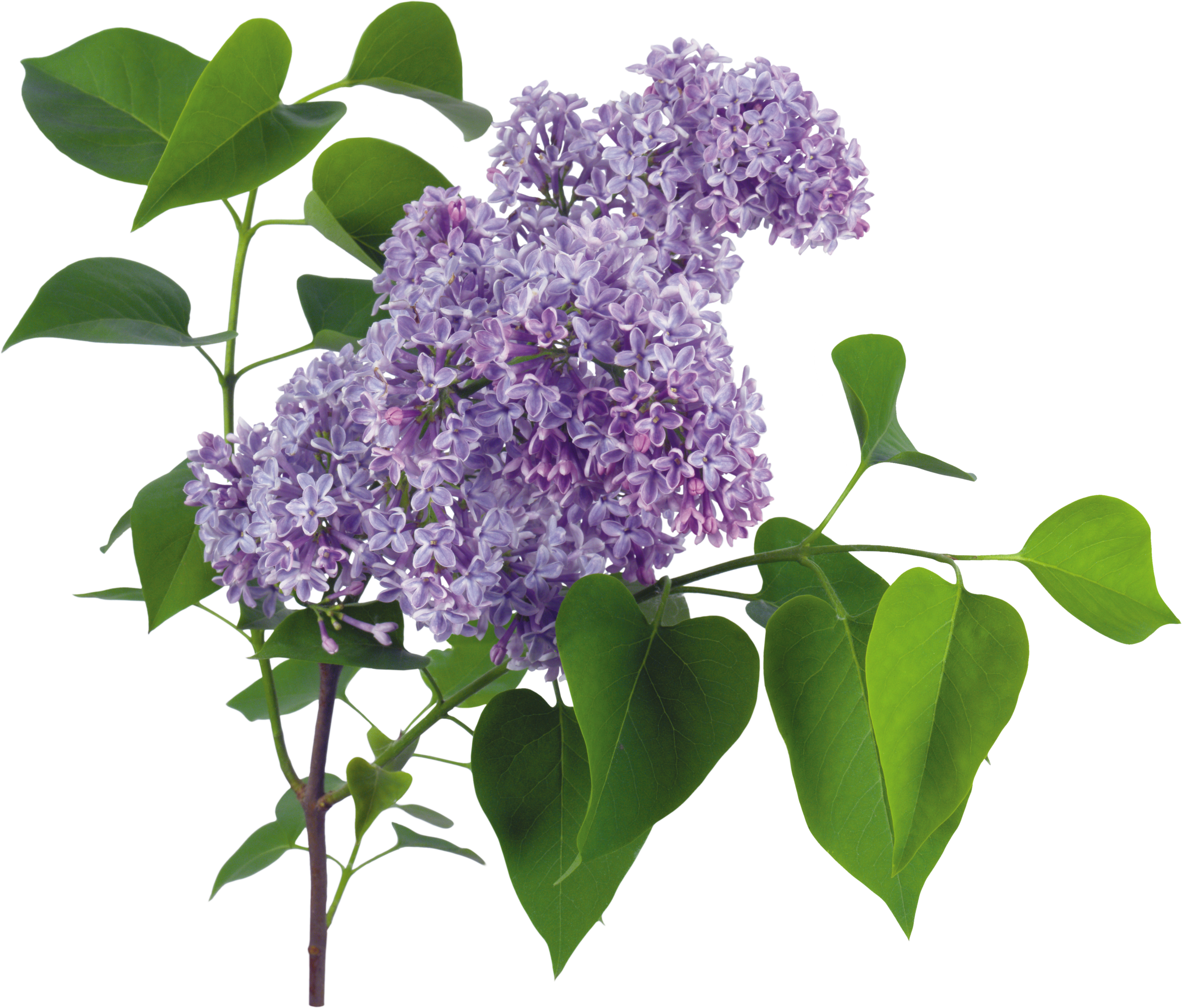 uploads lilac lilac PNG95 3