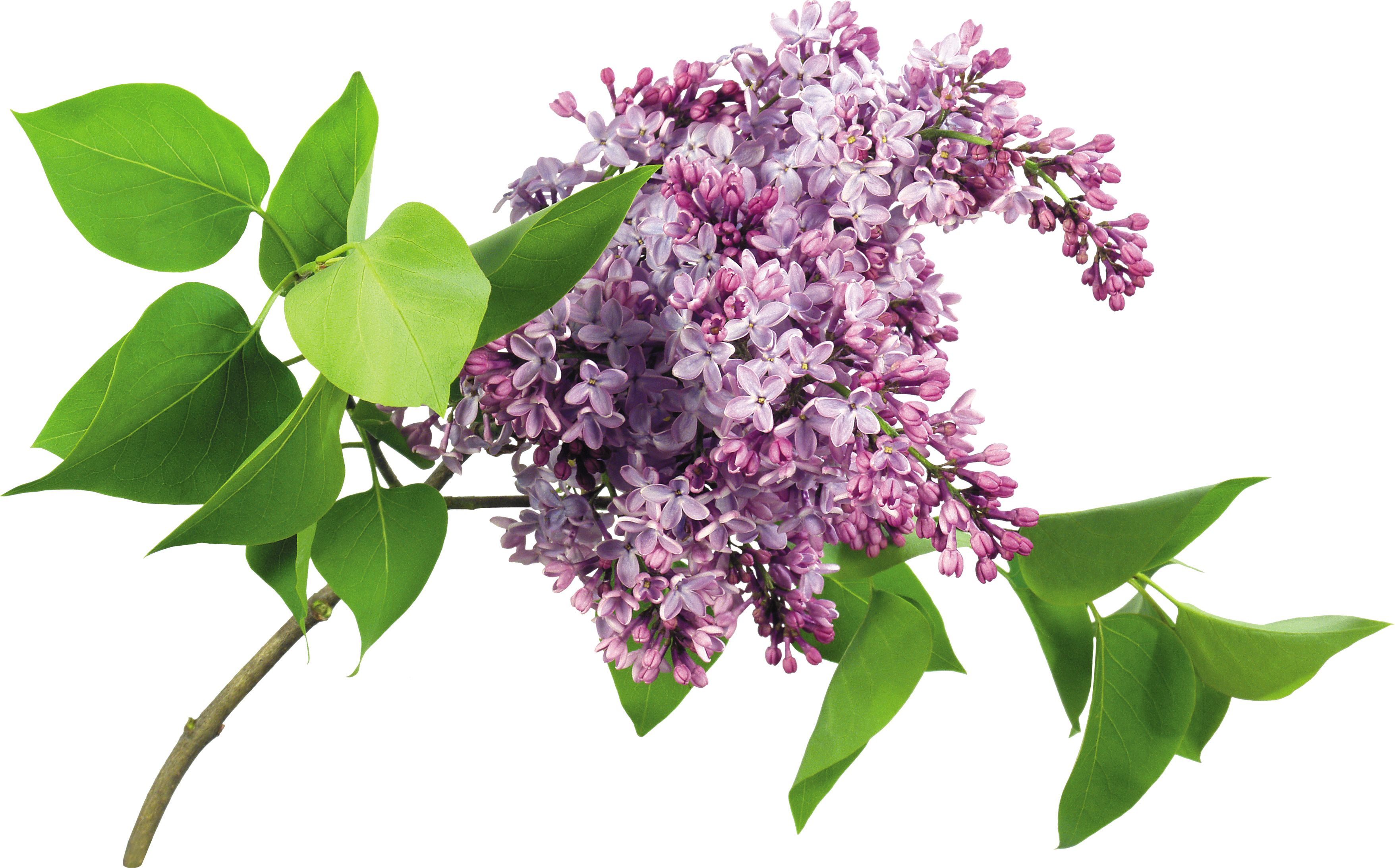 uploads lilac lilac PNG96 3