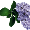 uploads lilac lilac PNG97 14