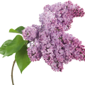 uploads lilac lilac PNG98 16