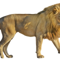 uploads lion lion PNG23278 22