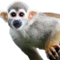 uploads monkey monkey PNG18725 76