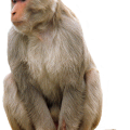 uploads monkey monkey PNG18734 72