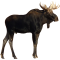 uploads moose moose PNG1 79