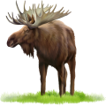 uploads moose moose PNG35 66