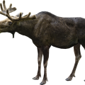 uploads moose moose PNG9 70